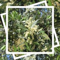 Floraison des oliviers mai 2018